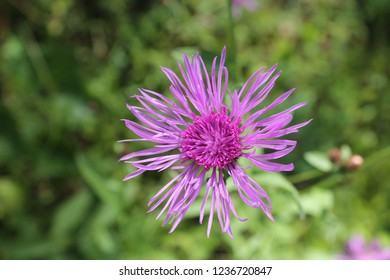 Greater Knapweed in bloom