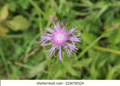 Greater Knapweed Blossoms