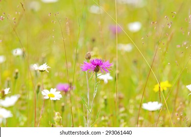 Greater Knapweed, Centaurea Scabiosa, with a diffused background of Oxeye daisies and meadow flowers, this elegant perennial grows mainly on dry calcareous grasslands, Clattinger meadow, Wiltshire,UK
