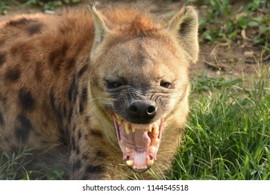 Greater Kruger National Park, South Africa. December 28, 2016. Spotted Hyena. Crocuta crocuta