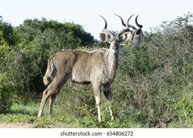 Greater Kudu, Addo Elephant National Park, Eastern Cape, South Africa