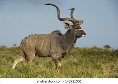 Greater kudu antelope male