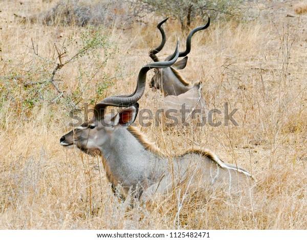 Greater Kudu, Kruger National Park