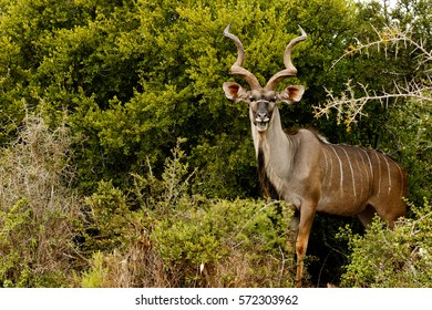 Greater Kudu standing and smiling in the bushes.
