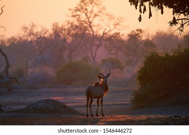 Greater Kudu, Tragelaphus strepsiceros, an African antelope, male with huge twisted horns lit by the morning sun, against the termite mound. Safari Adventure on the plains of Mana Pools, Zimbabwe.