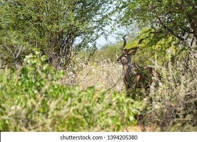 Greater Kudu - Tragelaphus strepsiceros, large striped antelope from African savannas, Etosha National Park, Namibia