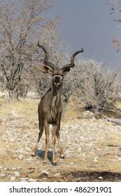 Greater kudu, Tragelaphus strepsiceros, single male, South Africa, August 2016