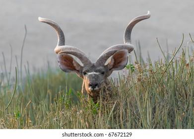 The Greater Kudu (Tragelaphus strepsiceros), a woodland antelope, Namibia, Africa