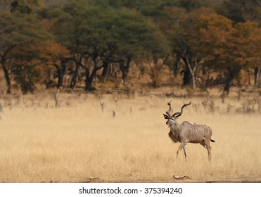 Greater Kudu Tragelaphus strepsiceros,big african antelope with twisted horns, male in dry african savanna with blurred trees in background, comming to waterhole .