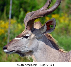 Greater kudu is a woodland antelope found throughout eastern and southern Africa. Despite occupying such widespread territory