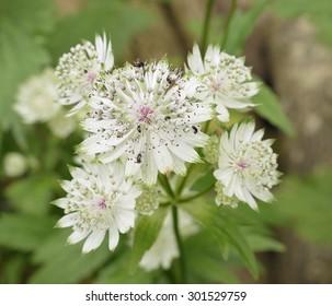 Greater Masterwort - Astrantia majorNaturalised in Cotswold Woodland