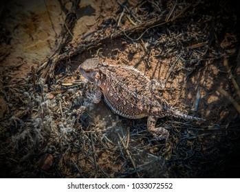 Greater Mountain Short-Horned Lizard, Phyrnosoma hernandesi,  in the Arizona Desert