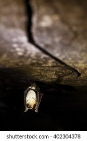 Greater mouse-eared bat hanging on the top of the dark cave while hibernating with black background and colored bokeh. Wildlife photography.