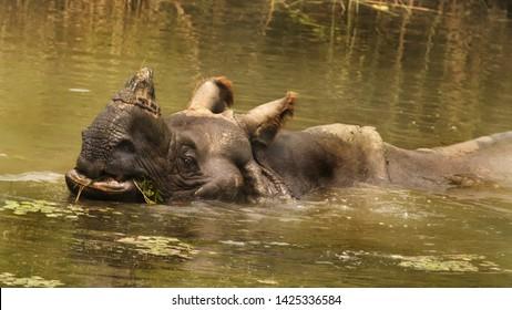 Greater One-Horned Rhino Chitwan National Park, Nepal