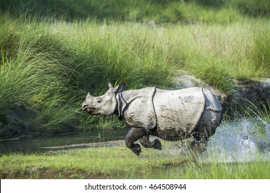 Greater one-horned rhinoceros in Bardia national park, Nepal ; specie Rhinoceros unicornis family of Rhinocerotidae