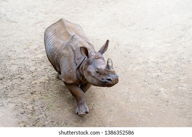 Greater one-horned rhinoceros, Indian rhinoceros, rhinoceros unicornis (Rhinoceros unicornis) walking