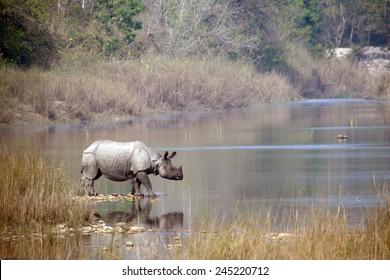 Greater one-horned rhinoceros specie Rhinoceros unicornis in Bardia, Nepal