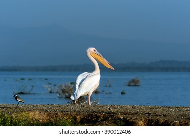 Greater Pelican flying over the coast of Lake Naivasha