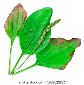 """Greater Plantain, Plantago major or """"Soldier's Herb"""" isolated on a white background."""