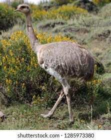 Greater rhea is a flightless bird found in eastern South America. Other names for the greater rhea include the grey, common or American rhea, nandu Guarani or ema Torres del paine, Patagonia, Chili