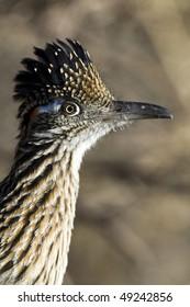 Greater Roadrunner, close-up profile portrait