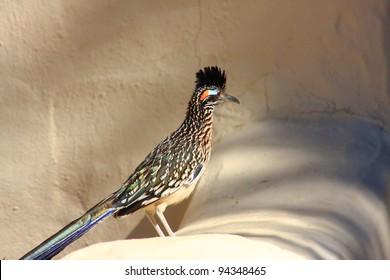 Greater Roadrunner (Geococcyx californianus)