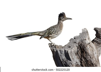 Greater roadrunner, Geococcyx californianus, Arizona, USA, winter