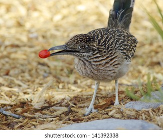 Greater Roadrunner (Geococcyx californianus) in Death Valley National Park, California, USA.