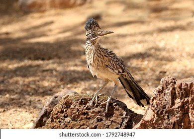 Greater Roadrunner on rocks looking for next meal