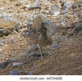 Greater Roadrunner in Phoenix Mountain Preserve
