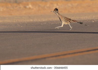 Greater Roadrunner running on a road.