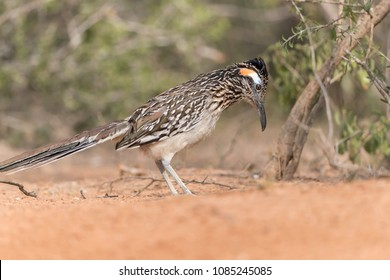 Greater Roadrunner in Southern Texas
