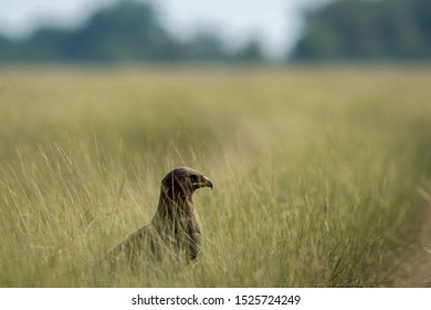 Greater spotted eagle or Clanga clanga sitting in a meadow or long grass near the track in forest at tal chhapar blackbuck sanctuary, rajasthan, India