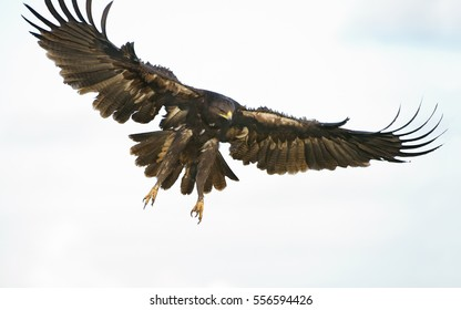 Greater Spotted Eagle in landing