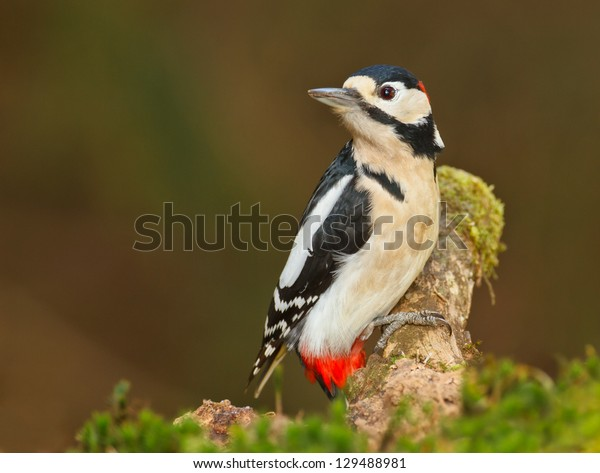 Greater spotted woodpecker, Dendrocopos major, looking left sat on a mossy branch