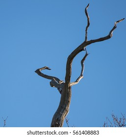Greater spotted woodpecker on old tree