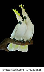 greater Sulphur-crested Cockatoo  isolated on black background