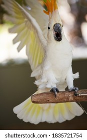 Greater sulphur-crested cockatoo. The plumage is overall white, while the underwing and tail are tinged yellow. The expressive crest is yellow. The bill is black, the eye-ring  is whitish