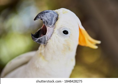 Greater sulphur-crested cockatoo portrait macro close up. The plumage is overall white, while the underwing and tail are tinged yellow.