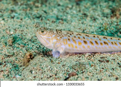 The greater weever, Trachinus draco, Linnaeus 1758, is a benthic and demersal venomous marine fish of the family Trachinidae