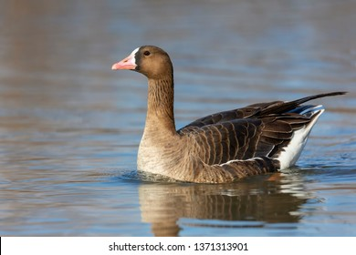 greater white-fronted goose  swimming