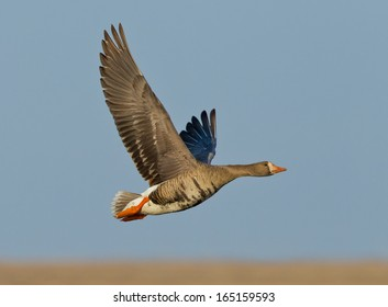 A greater white-fronted goose takes flight over the arctic tundra