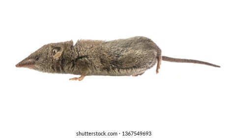 Greater White-toothed shrew (Crocidura russula)  isolated on white background