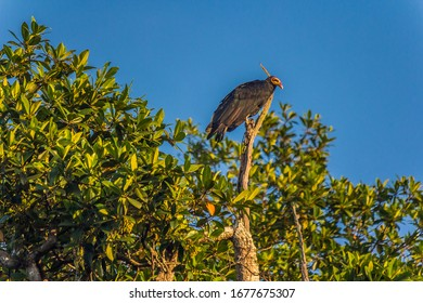 The greater yellow-headed vulture (Cathartes melambrotus), also known as the forest vulture, is a species of bird in the New World vulture family Cathartidae.