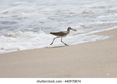 Greater Yellowlegs (Tringa melanoleuca) Gets a Sea Snail, Playalinda Beach, Merritt Island, Florida