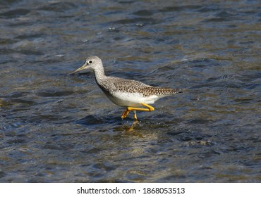 A Greater Yellowlegs (Tringa melanoleuca) shorebird wading in shore of the Conestogo river near St. Jacob's, Ontario, Canada.