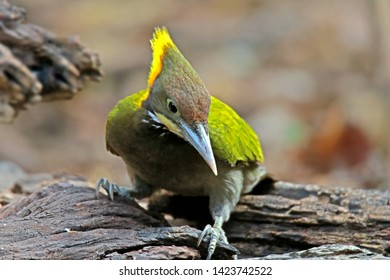 Greater Yellownape on ground in nature