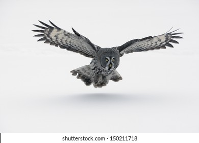 Great-grey owl, Strix nebulosa, Finland, winter