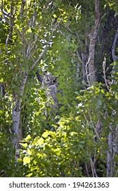 Great-horned owl bird (Bubo virginianus) sleeping hidden in green leafy spring trees