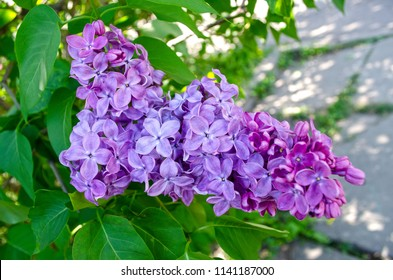 The greatness of spring nature. There are great lilac flowers on the branch of Lilac tree. Photographed in the ancient Botanical Garden.  My author's photography you can print in a large enough size.